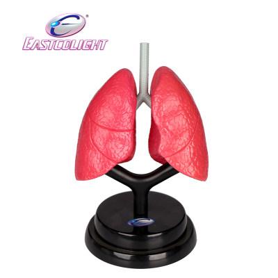 香港 eastcolight/怡高 学生医学实验呼吸系统豪华套装儿童科教模型玩具